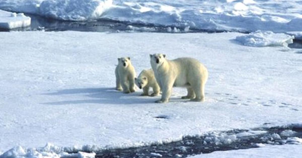 Polar bears, climate change, global warming